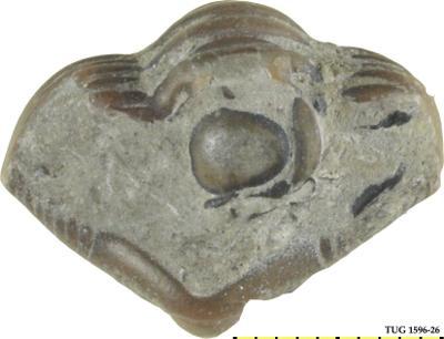 Calymene blumenbachii (Brongniart, 1817), TUG 1596-26