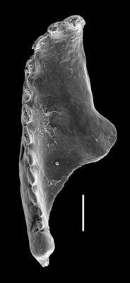 <i>Oenonites cf. marlenediesae</i><br />West Anticosti coastal outcrops, Canada,  m, Katian