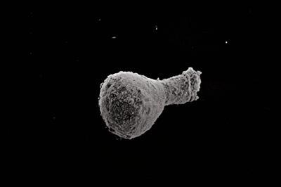 <i><i>Ancyrochitina diabolus</i> | Ancyrochitina cf. diabolus</i><br />Kolka 54 borehole, 238.00 m, Kaugatuma Stage ( 754-742)