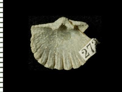 Glossorthis schmidti (Wysogórski, 1900), GIT 125-107