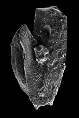 Drepanoistodus cf. nowlani Ji et Barnes, 1994, GIT 342-5