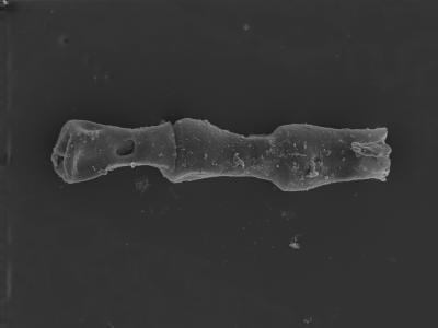 <i><i>Cingulochitina crassa</i> | Cingulochitina crassa?</i><br />Ventspils D-3 borehole, 697.10 m, Jaagarahu Stage ( 754-312)