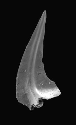 Tripodus sp., GIT 495-29