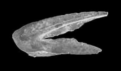 Drepanoistodus cf. venustus (Stauffer, 1935), GIT 342-87