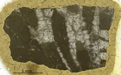 Paleofavosites alveolaris (Goldfuss, 1829), GIT 180-48