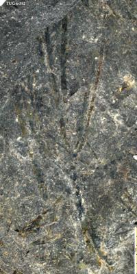 Tetragraptus sp., TUG 6-392