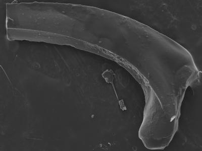Protopanderodus? robustus, GIT 752-11