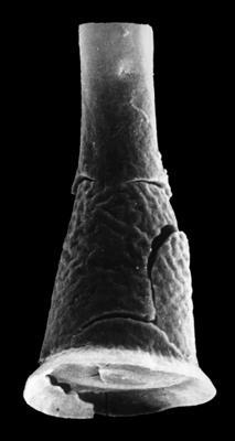 <i><i>Cyathochitina kuckersiana</i></i><br />Rihtniemi, Pyhäranta,  m,  ( 307-17)