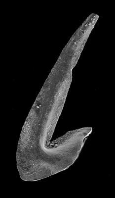 Oslodus semisymmetricus (Hamar, 1966), GIT 549-77