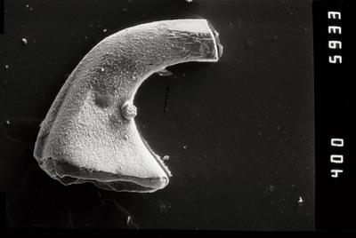 Variabiloconus sp., GIT 796-58