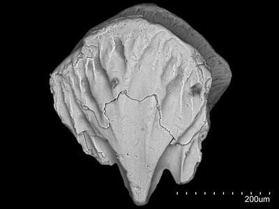 Diplacanthiformes