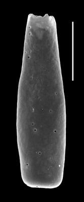 <i><i>Conochitina iklaensis</i></i><br />Paatsalu 527 borehole, 101.30 m, Llandovery ( 493-9)