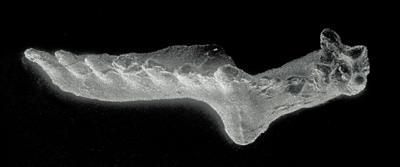 Icriognathus cornutus Männik, 1992, GIT 252-7