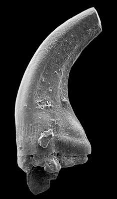 Panderodus sulcatus (Fåhraeus, 1966), GIT 449-49