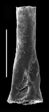 <i><i>Belonechitina micracantha</i> | </i><br />Grötlingbo 1 borehole, Gotland, 432.90 m, Haljala Stage ( 688-19)