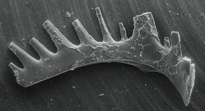 Ozarkodina excavata puskuensis Männik, 1994, GIT 254-11