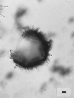 Goniosphaeridium pravispinosum Uutela et Tynni, 1991, GIT 344-130