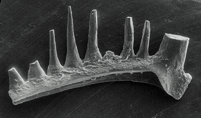 Ozarkodina excavata puskuensis Männik, 1994, GIT 254-9
