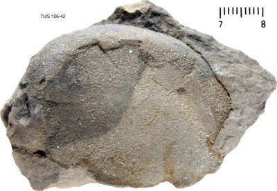 Illaenus roemeri Volborth, 1864, TUG 106-42