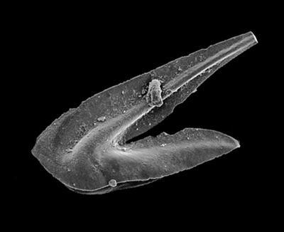 Drepanoistodus aff. Drepanoistodus  venustus (Stauffer, 1935), GIT 549-74