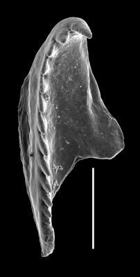 <i>Oenonites sp.</i><br />West Anticosti coastal outcrops, Canada,  m, Hirnantian
