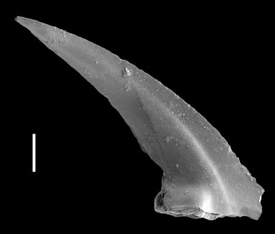 Triangulodus alatus Dzik, 1994, GIT 654-42