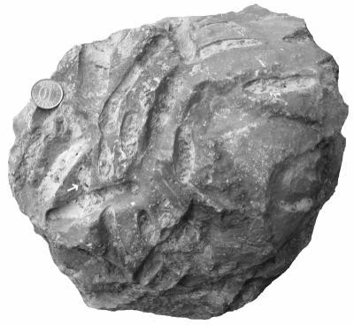 Osprioneides kampto Beuck and Wisshak, 2008, TUG 1361-1
