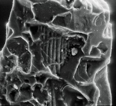 Ozarkodina excavata puskuensis Männik, 1994, GIT 254-49