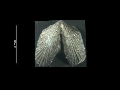 Dicoelosia baltica Musteikis et Puura, 1983, GIT 37-5