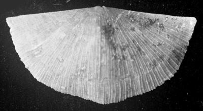 Sowerbyella (Sowerbyella?) eha Öpik, 1930, TUG 1054-122