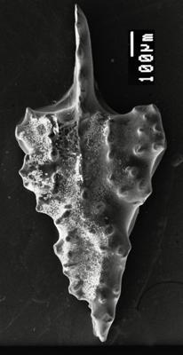 Aulacognathus sp. n. Männik, 2007, GIT 511-32