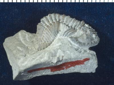 Encrinurus ruhnuensis Männil, 1978, GIT 177-32