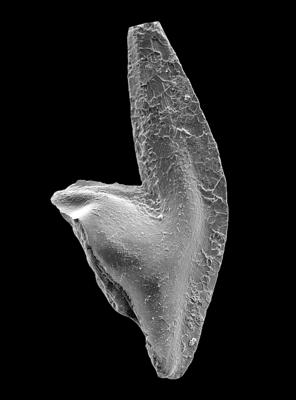 Baltoniodus variabilis (Bergström, 1962), GIT 449-29