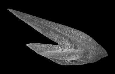 Drepanoistodus forceps (Lindström, 1955), GIT 594-22