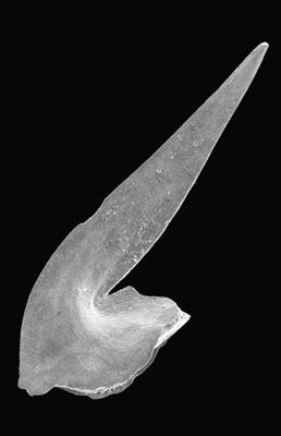 Oistodus lanceolatus Pander, 1856, GIT 495-54
