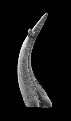 Panderodus sulcatus (Fåhraeus, 1966), GIT 449-53