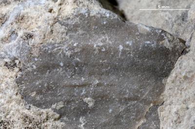 Dendrinidae