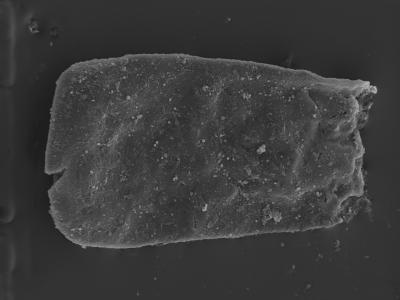 <i><i>Conochitina cribrosa</i></i><br />Ventspils D-3 borehole, 693.00 m, Jaagarahu Stage ( 754-314)