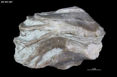 Schlotheimophyllum patellatum (Schlotheim, 1820), GIT 397-397