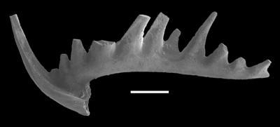 Phragmodus polonicus Dzik, 1978, GIT 654-40