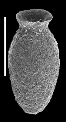 <i><i>Desmochitina elongata</i></i><br />Uuga Cliff 1, Parki peninsula, 1.90 m, Lasnamägi Stage ( 590-1)