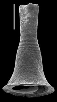 <i><i>Chitinozoa</i> | Cyathochitina cf. sebyensis Grahn, 1981</i><br />Uuga Cliff 1, Parki peninsula, 0.90 m, Lasnamägi Stage ( 590-30)