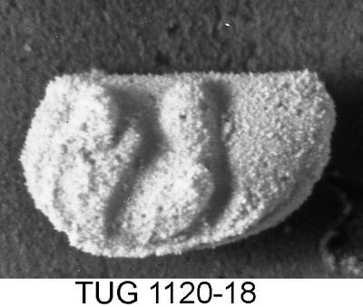 Ceratopsis perpunctata prominens, TUG 1120-18