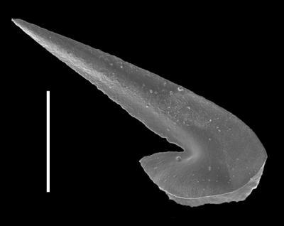 Drepanoistodus basiovalis (Sergeeva, 1963), GIT 654-36