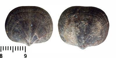 Panderina tetragona (Pander, 1830), TUG 441-635