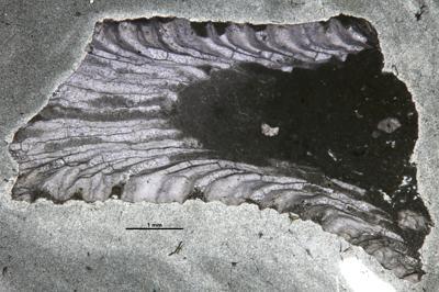 Eridotrypa sp., GIT 537-667