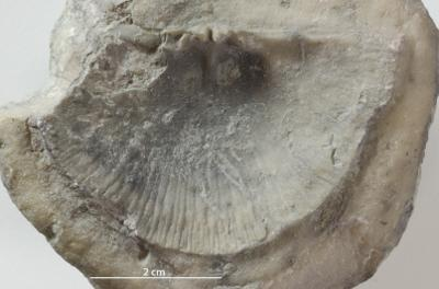 Strophomenidae