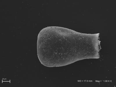 <i><i>Eisenackitina</i> | Eisenackitina aff. clunensis</i><br />Ventspils D-3 borehole, 334.40 m, Kaugatuma Stage ( 754-1807)