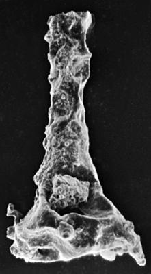 <i><i>Ancyrochitina diabolus</i></i><br />Ohesaare borehole, 97.65 m, Paadla Stage ( 189-26)