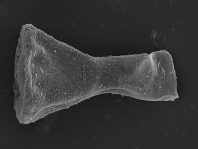 <i><i>Sphaerochitina</i> | Sphaerochitina? sp.</i><br />Kolka 54 borehole, 430.80 m, Jaagarahu Stage ( 754-1223)